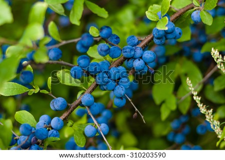 The fruits of blackthorn (Prunus spinosa) - stock photo