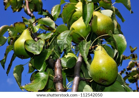 Fruit Tree Stock Images, Royalty-Free Images & Vectors ...