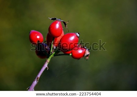 The fruits of rose hip - stock photo