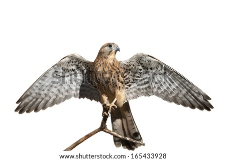The full length portrait of a rock kestrel, Falco tinnunculus. Front view of a beautiful bird with stretched wings, isolated on white background. Wild beauty of the feathered world. - stock photo