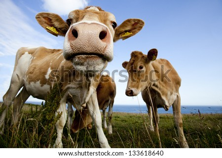 The funny cow who look in a lens - stock photo