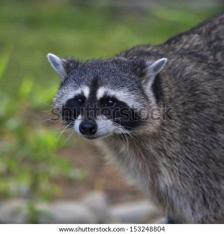 The funny face of a raccoon on blur background. Curious look of a washing bear. Cute and cuddly animal, which can be very dangerous beast. Beauty of the wildlife. - stock photo