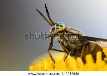 the gadfly with colored eyes on a yellow flower waiting for the victim of the bite