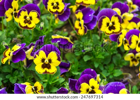 The garden pansy is a type of large-flowered hybrid plant cultivated as garden flowers - stock photo