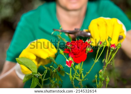 The Gardener is cutting a Flower at a sunny day. - stock photo