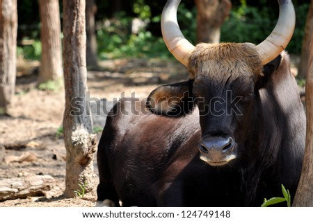 The gaur is the largest species of wild cattle, bigger than the African buffalo, the extinct aurochs, and wild water buffalo. - stock photo