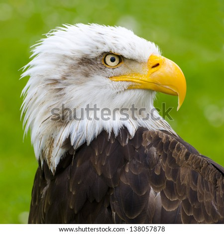 the gaze of the eagle in Cabarceno - stock photo