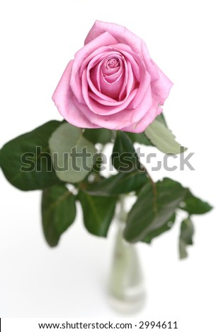 The gentle pink rose is in a vase on a white background