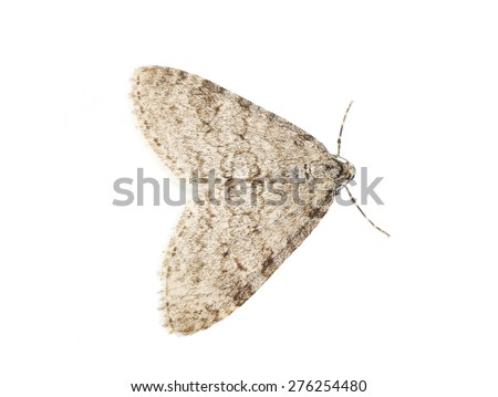 The geometer moth Trichopteryx carpinata isolated on white background - stock photo