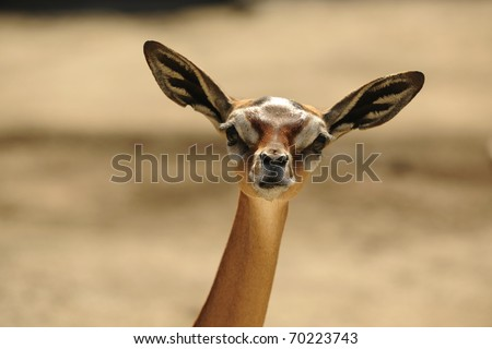 The Gerenuk (Litocranius walleri), also known as the Waller's Gazelle, is a long-necked species of antelope found in dry bushy scrub and steppe in East Africa. - stock photo
