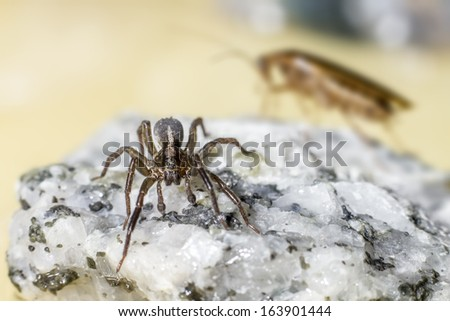 The German cockroach and Ground wolf-spider - stock photo