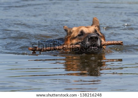 The German Shepherd dog is swimming with a stick in his mouth - stock photo