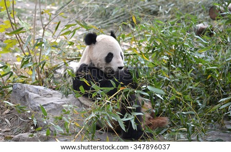 The giant bear a panda eating bamboo leaves.