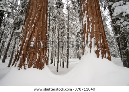 The giant forest covered by snow after the winter storm at Sequoia Tree National Park, California, USA - stock photo