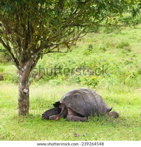 The Giant Galapagos Tortoise, here next to a tree, is the largest living species of tortoise, Santa Cruz Island, Galapagos, Ecuador - stock photo