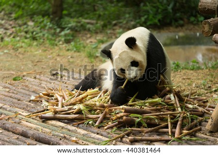 The giant panda eating their food
