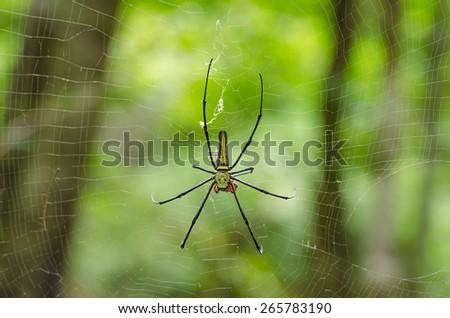 The Giant wood spider (Nephila maculata, nephila pilipes), AKA the Golden Orb Weaver or Banana Spider, is one of the largest spiders in the world & is known for it's striking black & yellow coloring. - stock photo