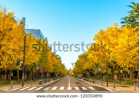 The ginkgo trees at Kanagawa prefecture street in Yokohama City, Japan. - stock photo