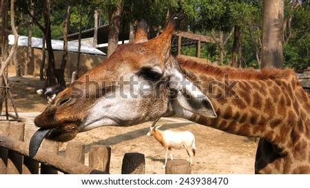 The giraffe (Giraffa camelopardalis) - stock photo