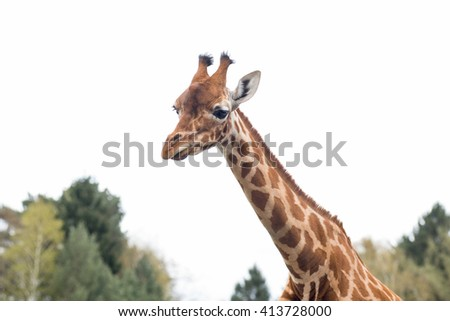The giraffe ( Giraffa camelopardalis ) is a mammal of the order Artiodactyla, the only species of the genus Giraffa . It is the tallest terrestrial animal in the world . - stock photo