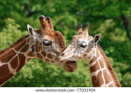 Ungulate Zoo Zoo Animals Sto...
