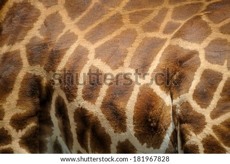 The Giraffe hair texture for background - stock photo