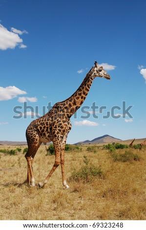 The Giraffe in Kenya - stock photo