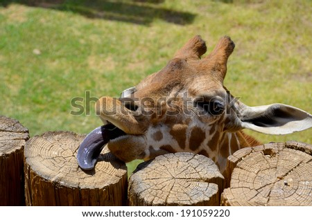 The giraffe is an African even-toed ungulate mammal, the tallest living terrestrial animal and the largest ruminant. Its species name refers to its camel-like appearance and the patches of color fur - stock photo