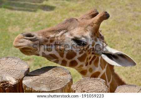 The giraffe is an African even-toed ungulate mammal, the tallest living terrestrial animal and the largest ruminant. Its species name refers to its camel-like appearance and the patches of color fur