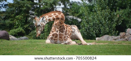 The giraffe is an African even-toed ungulate mammal, the tallest of all extant land-living animal species, and the largest ruminant.