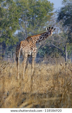 The giraffe, one of the most fascinating animals in Africa