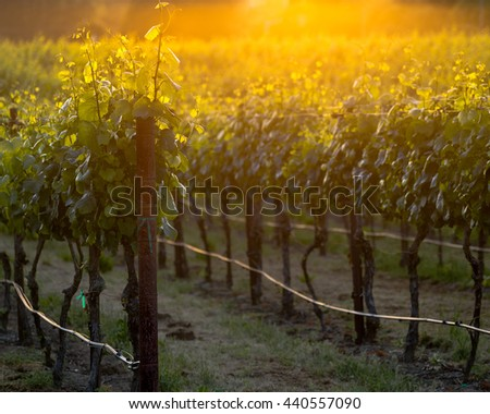 The glowing vines of a Napa vineyard at sunset. Grapevines glowing at golden hour. Lush summer vines in a Napa vineyard. Yellows and oranges shine from the sun in the background. - stock photo