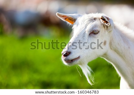 The goat is a mammal belonging to the even-toed ungulates , and within the Bovidae .The word comes from Germanic goat gait - z and is probably related to Latin h���¦dus ' young goat '