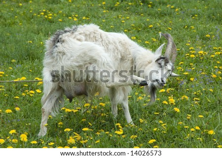 The goat is grazed on a meadow in the afternoon