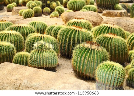 The Golden Barrel Cactus  field in the garden for background use.