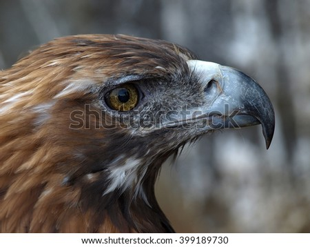 The golden eagle (Aquila chrysaetos) head close up