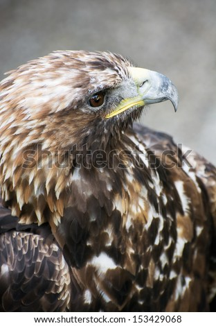 The Golden eagle (Aquila chrysaetos) is one of the best-known birds of prey in the Northern Hemisphere. It is the most widely distributed species of eagle. - stock photo