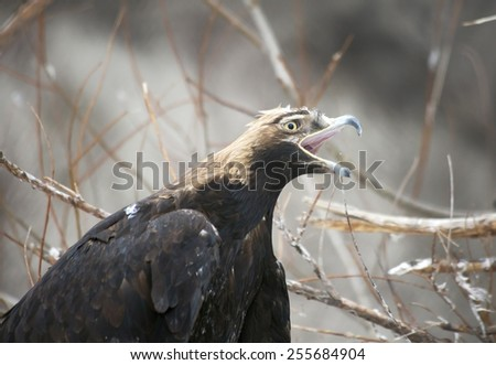 The Golden eagle. The Golden eagle is one of the best known birds of prey family of hawks, the largest eagle. Since the eagles were a symbol of courage and nobility. - stock photo