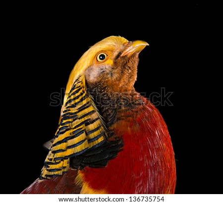 The golden pheasant on black background. - stock photo