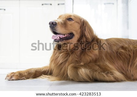 The golden retriever lying on the floor
