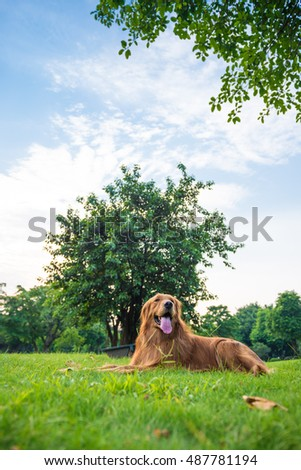The golden retriever on the grass