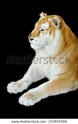 The Golden Tabby Tiger isolated on black background - stock photo
