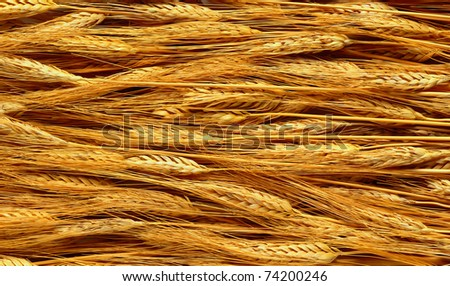 The golden wheat fields in a summer - stock photo