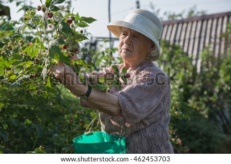 The grandmother at the age of 90 years gathers raspberry