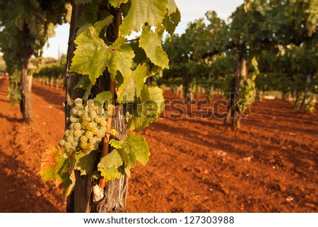 the grapes in vineyard - Croatia - stock photo