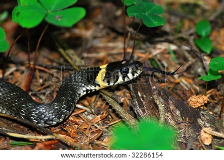 The Grass Snake (Natrix natrix), sometimes called the Ringed Snake or Water Snake is a European non-venomous snake