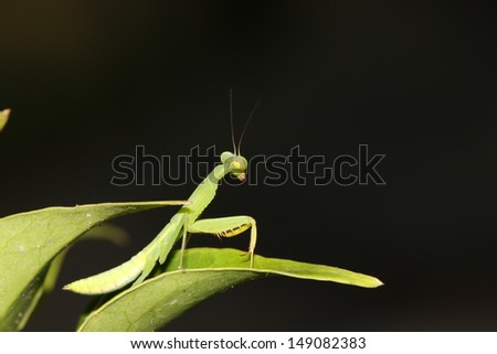 The Grasshopper (Mantis religiosa)