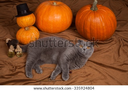 the gray British cat and a lot of pumpkins  - stock photo