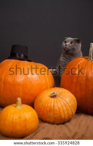 the gray British cat and many pumpkins  - stock photo
