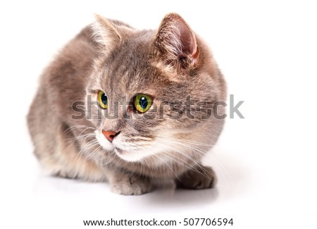 The gray cat has low sat down, has nestled down and looks aside. It is isolated on a white background, in focus the head of a cat with green eyes.